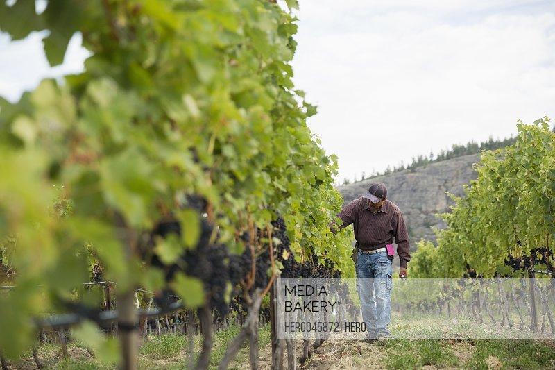 Worker checking red grape vines working in vineyard