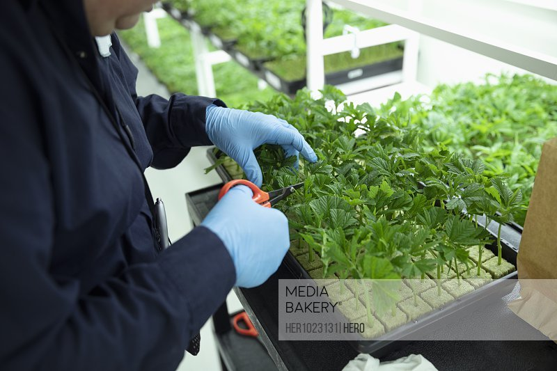 Grower inspecting and trimming cannabis seedlings in incubation