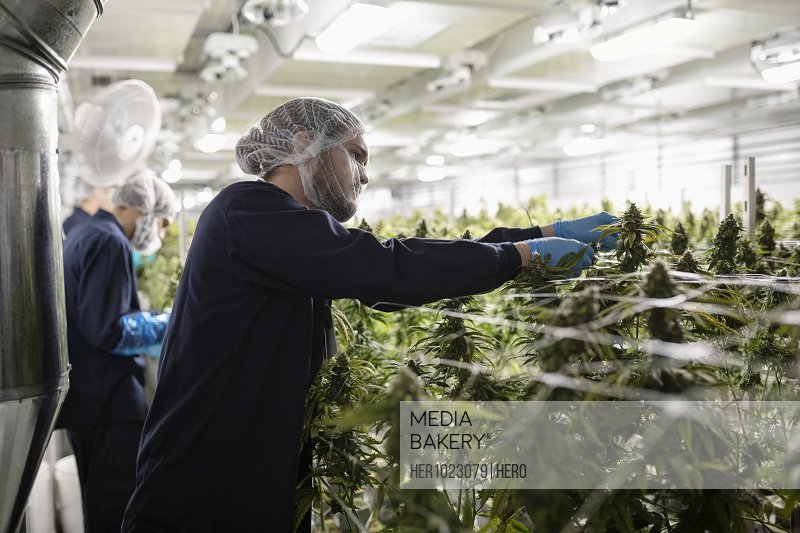 Growers trimming cannabis plants growing indoors