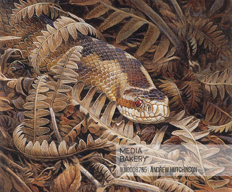 Adder Vipera berus snake camouflaged in dry ferns