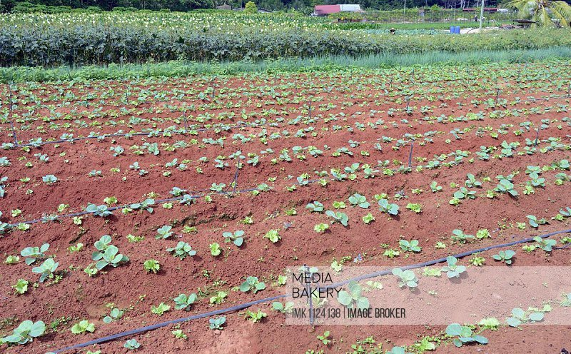 Vegetable cultivation on Mahe Island, Seychelles, Africa