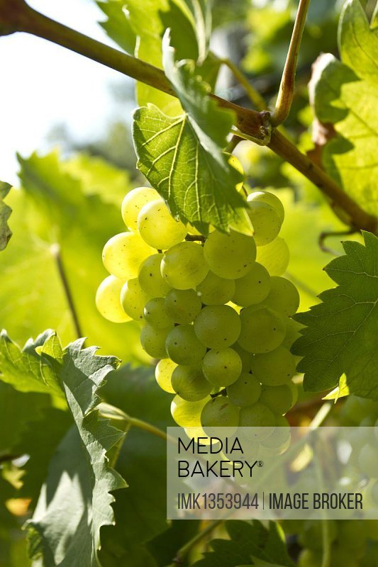 White Grapes (Vitis vinifera), vine in a vineyard