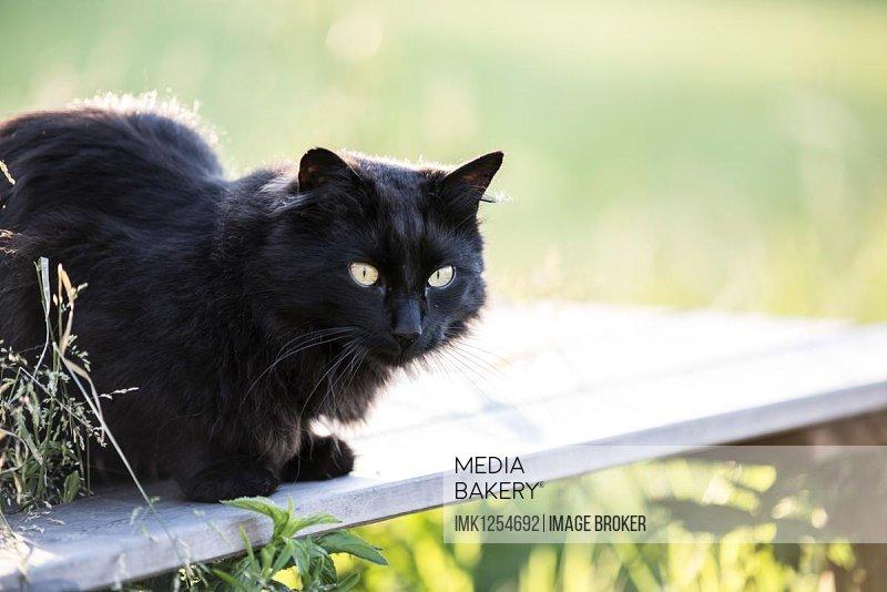 Black long hair cat