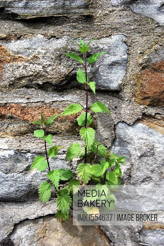 Stinging nettle (Urtica) growing in stone wall