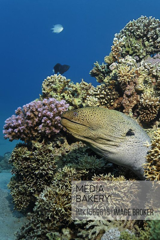 Giant Moray (Gymnothorax javiancus) looking out of its hideaway in a stone coral reef, Makadi Bay, Hurghada, Egypt, Red Sea, Africa