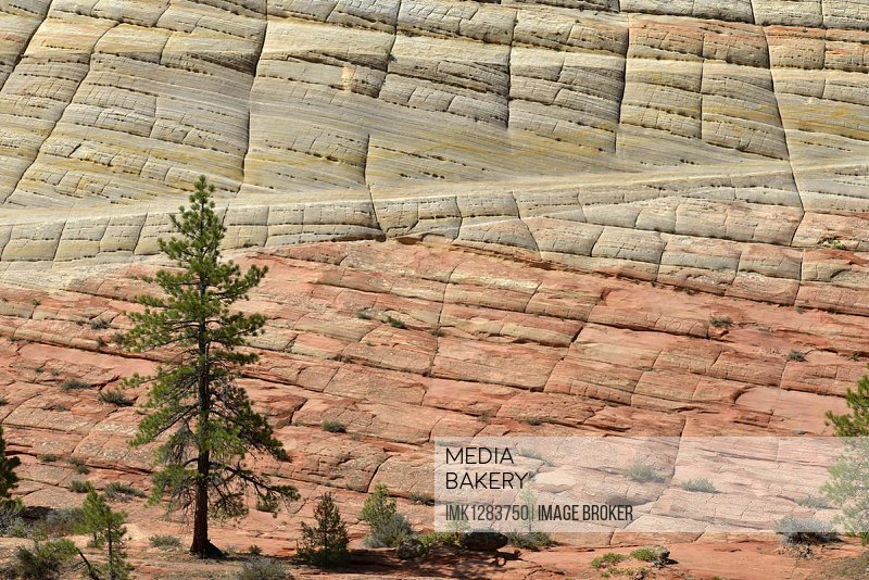 Yellow Pine (Pinus ponderosa) in front of the sandstone structure of Checkerboard Mesa, Zion National Park, Utah, United States, North America