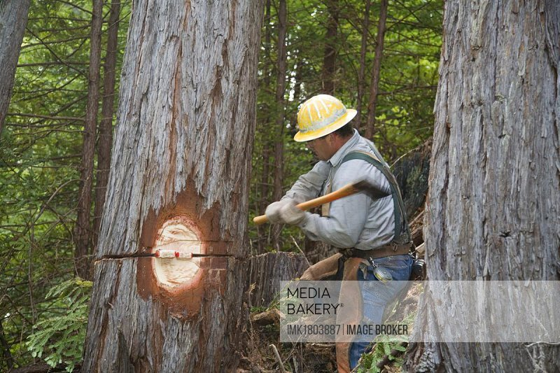 Worker logging redwoods, Fort Bragg, northern California, USA, North America