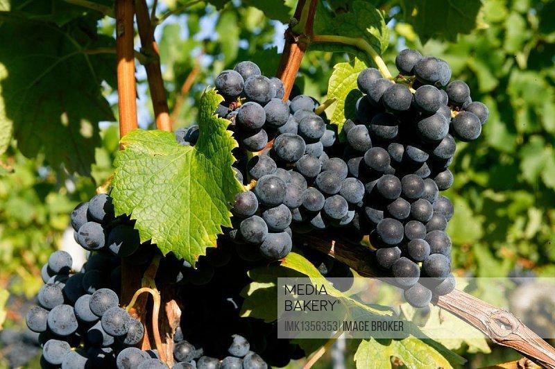 Grapevine, AOC Montagne Saint Emilion, Bordeaux vineyard, Aquitaine, France, Europe