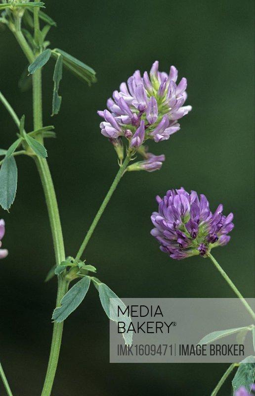 Alfalfa (Medicago sativa sativa) crop, flowers, fodder crop