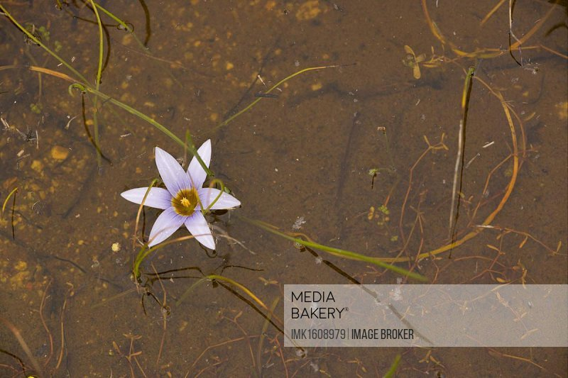 Sand-crocus (Romulea tabularis), flowering, growing in flooded marsh, Cape, South Africa, Africa