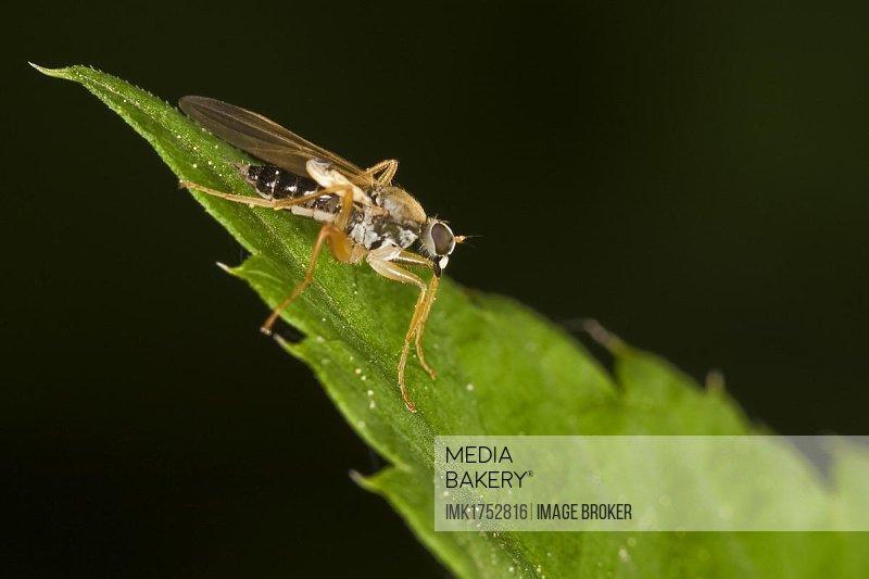 Fly (order Diptera, suborder Brachycera)