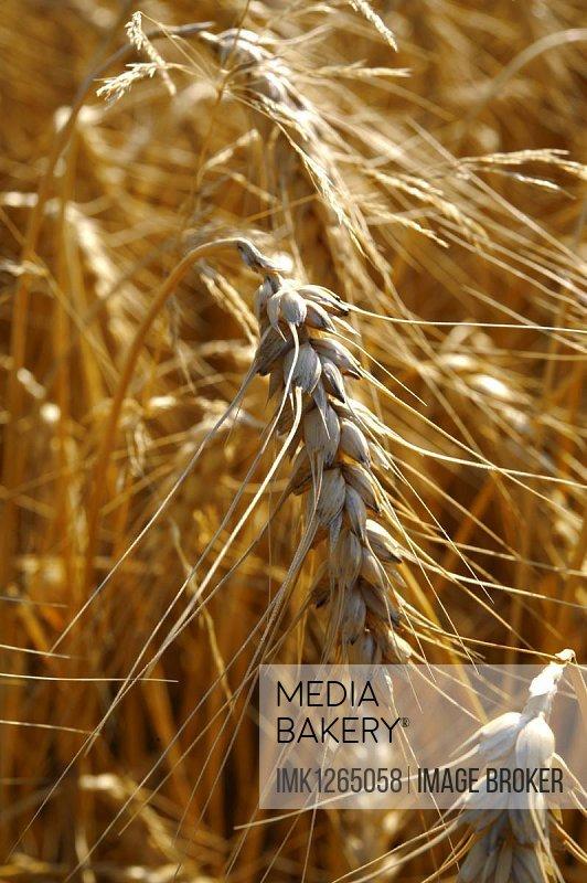 Ripe wheat, Yorkshire, United Kingdom, Europe