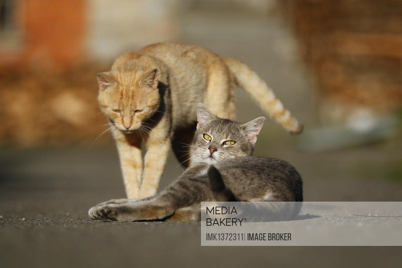 Gray tabby and red tabby cats greeting each other on a road