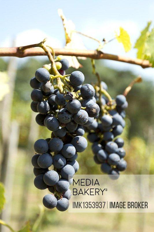 Red Grapes (Vitis vinifera), vine in a vineyard