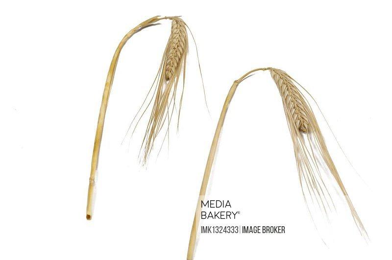 Ears of wheat (Triticum spp.)
