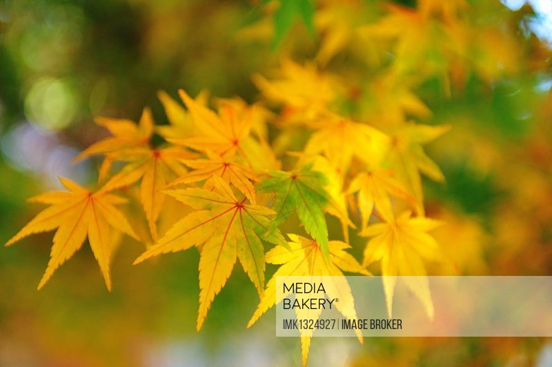 Maple leaves (AceR) in autumn, at Fushou Mountain in Taichung, Taiwan, China, Asia