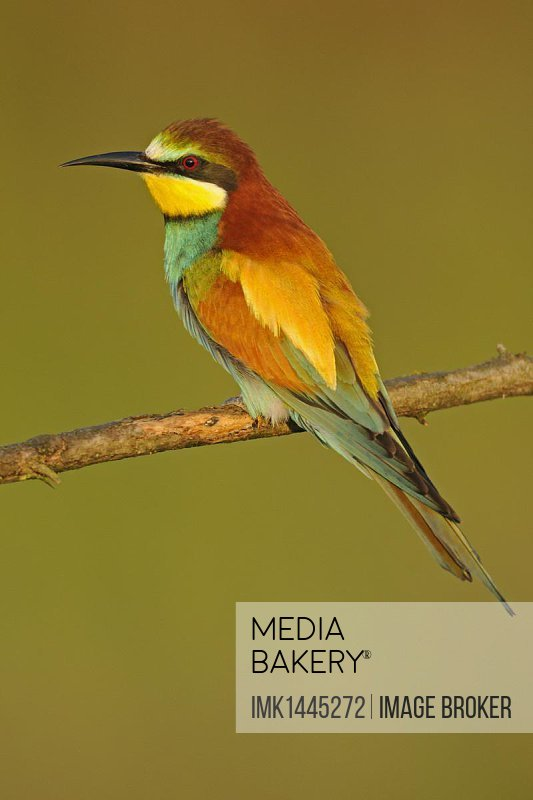 European Bee-eater (Merops apiaster), adult, perched on twig, Bulgaria, Europe