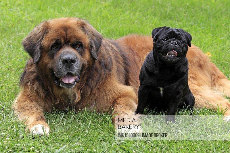 A Germanic beardog and a black pug, friends
