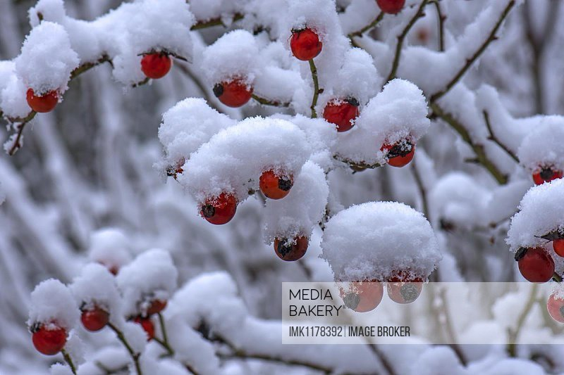 Snowy rose bush with red rose hips in winter, Bavaria, Germany, Europe