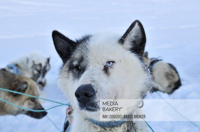 Greenland sled dog, portrait, Greenland, Arctic North America, North America