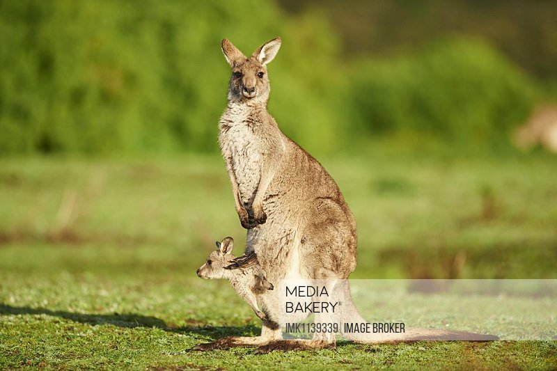 Eastern Gray Kangaroo (Macropus giganteus), mother animal with her youngster on a meadow, Great Otway National Park, Victoria, Australia, Oceania