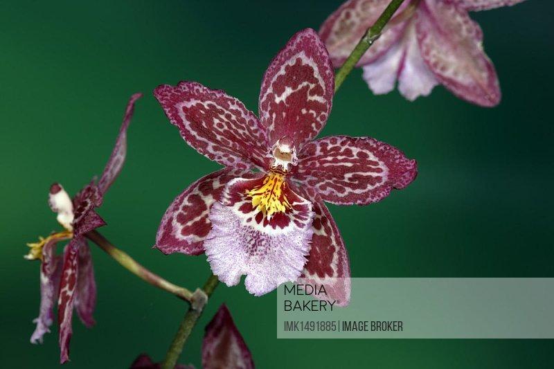 Vuylstekeara Orchid, flowering, Singapore, Southeast Asia, Asia