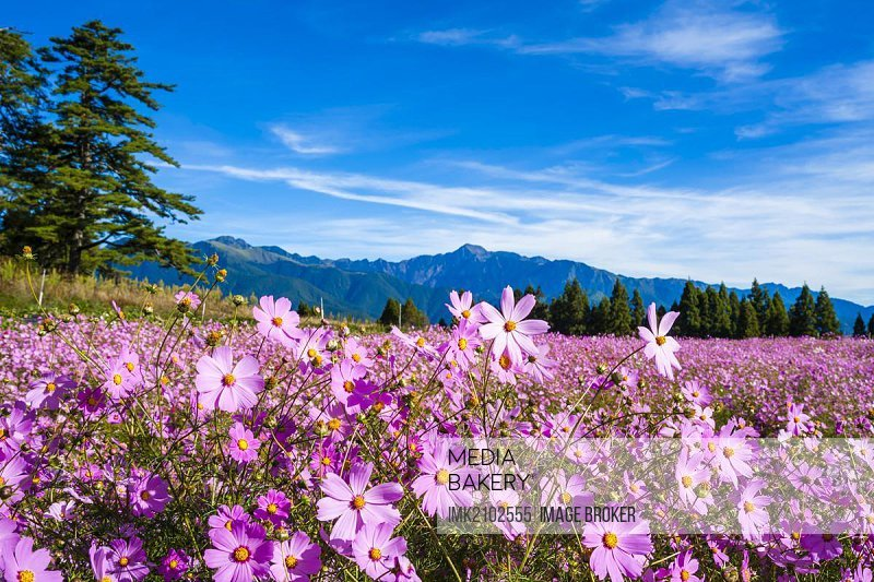 Sea of flowers, Fushou Mountain Farm, Heping District, Taichung, Taiwan, China, Asia