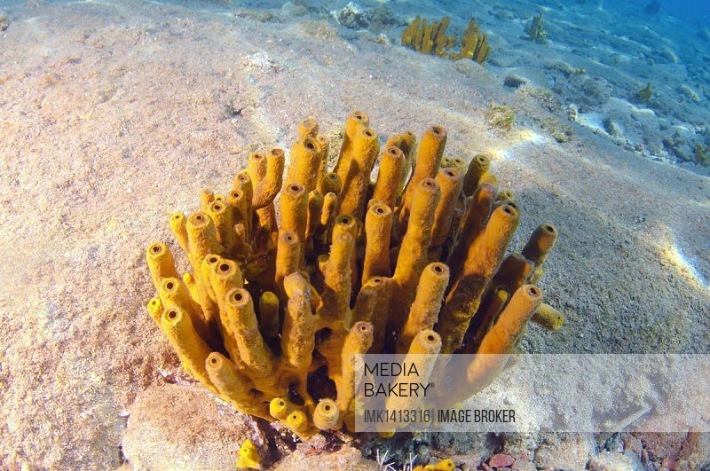 Sponge (Porifera), Turkey, Western Asia, Asia
