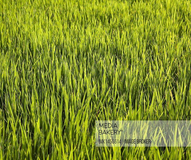 Rice field, Bali, Indonesia, Southeast Asia, Asia