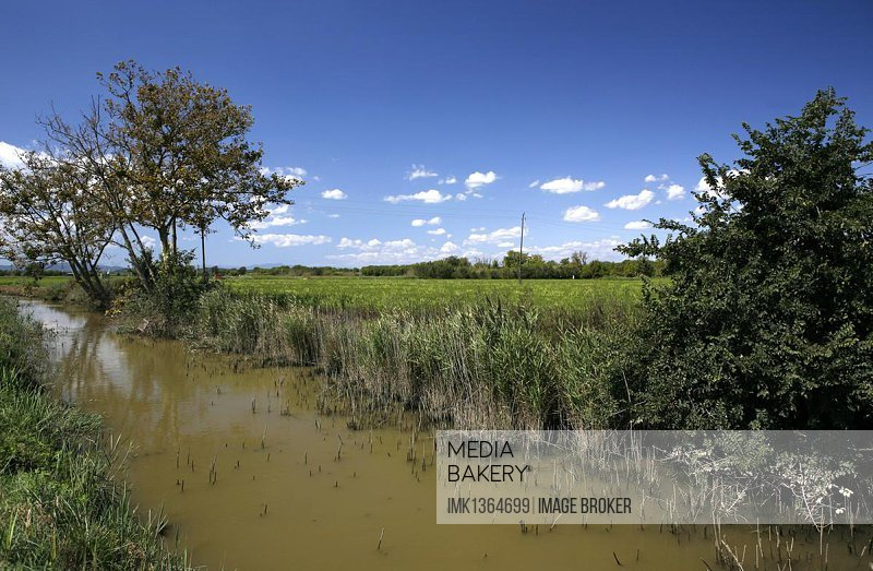 Irrigated rice field, rice cultivation near Pals, Basses d'en Coll, Catalonia, Spain, Europe