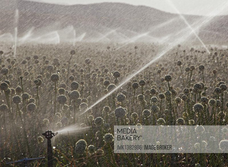 Irrigation of crops in the San Joaquin Valley, Ventucopa, California, USA, North America