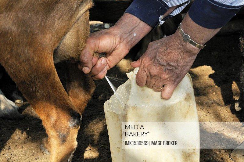 Farmwoman, 49, milking a goat, Puesto La Guascha, Gran Chaco, Salta, Argentina, South America