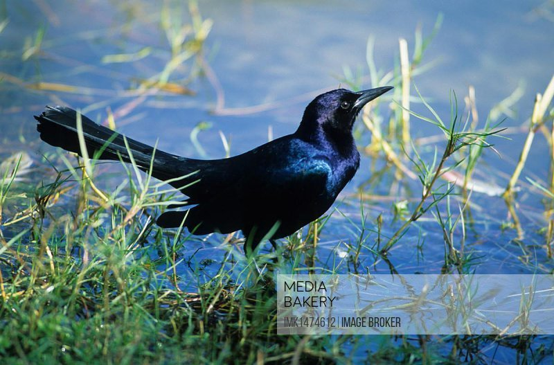 Boat-tailed Grackle (Quiscalus quiscula), male in vegetation