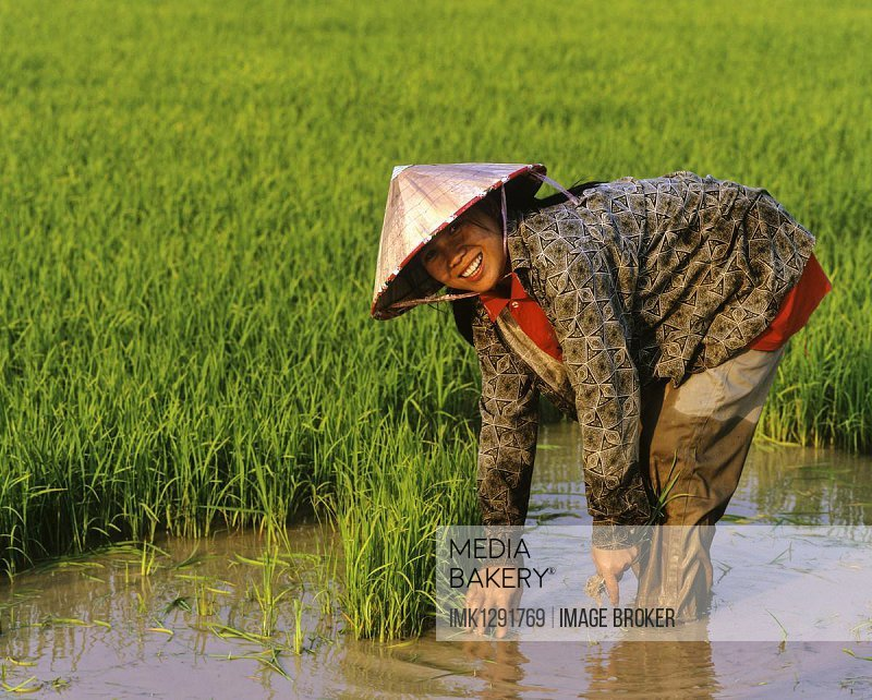 Female worker in a rice paddy, rice cultivation, Laos, Asia