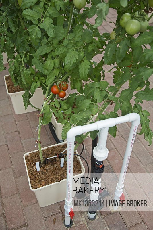 Organic tomatoes are grown hydroponically in bato buckets in a greenhouse at Henry Ford West Bloomfield Hospital, West Bloomfield, Michigan, USA, North America