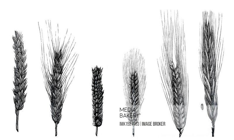 Drawings of wheat varieties, plant species of grasses (Poaceae), genus Triticum L., Pflanzenbaulehre Leitfaden or Guide for plant cultivation by Dr. W. Koeppen, 1908