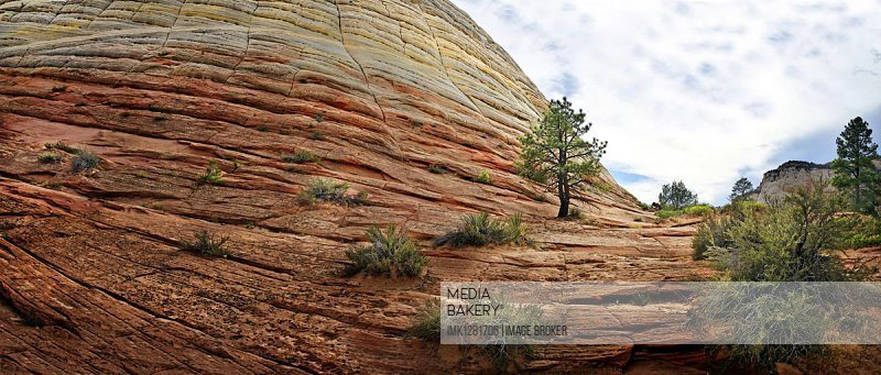 The Checkerboard Mesa, checkerboard patterns created by the erosion of Navajo sandstone rocks, with pine trees growing on the rocks, Zion National Park, Utah, United States, North America