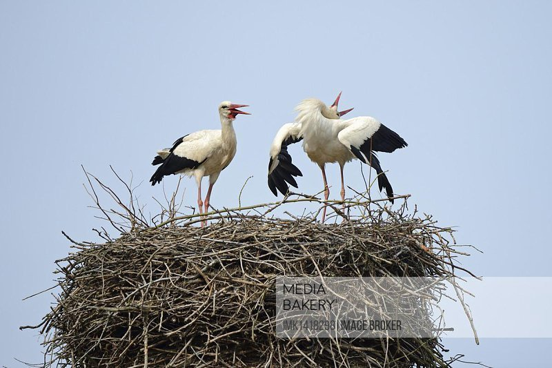 White Storks (Ciconia ciconia), greeting each other on the nest, stork village of Linum, Brandenburg, Germany, Europe