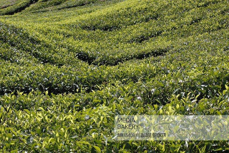 Tea plantation, Malaysia, Southeast Asia, Asia