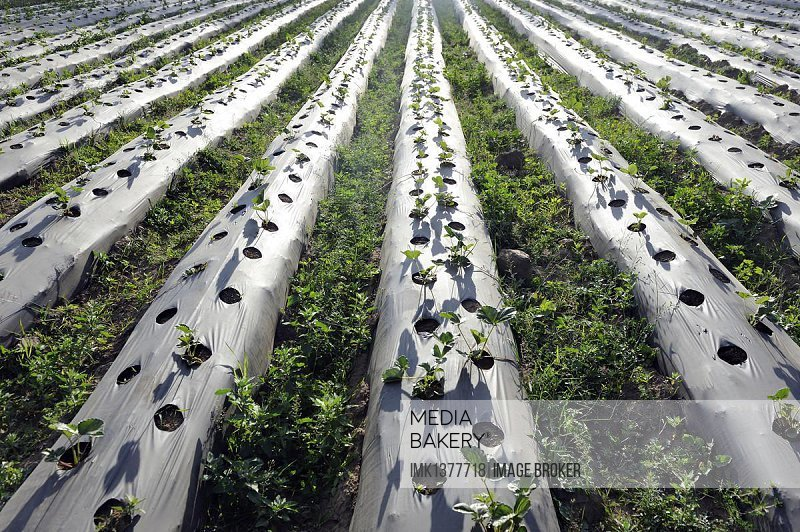 Strawberry field (Fragaria), plants growing under black pastic sheets, drip irrigation, Santa Marianita de Pingulmi, Canton Cayambe, Pichincha province, Ecuador, South America *** IMPORTANT: No print or online publication by German aid organisations and NGOs ***