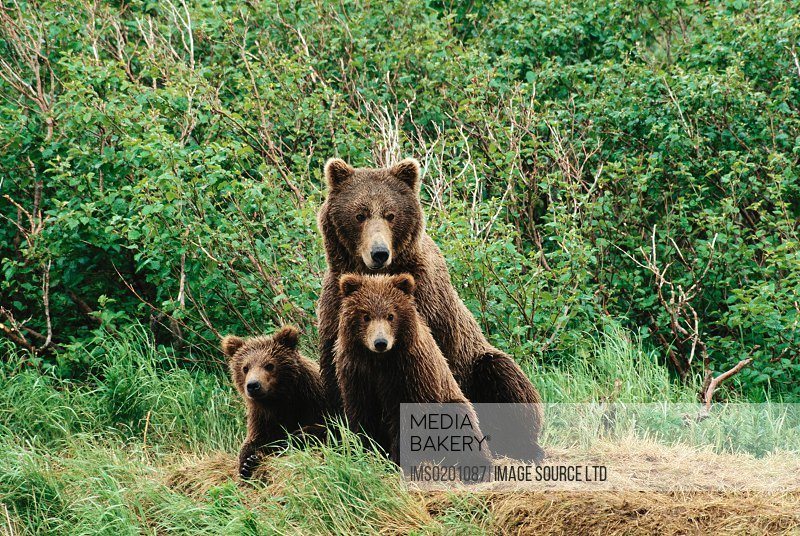 Brown bear and cubs, Alaska