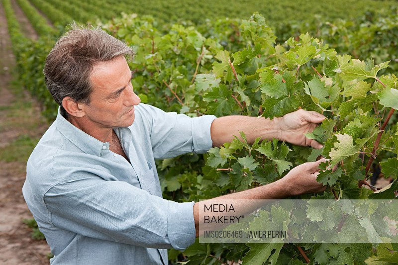 Mature man in a vineyard