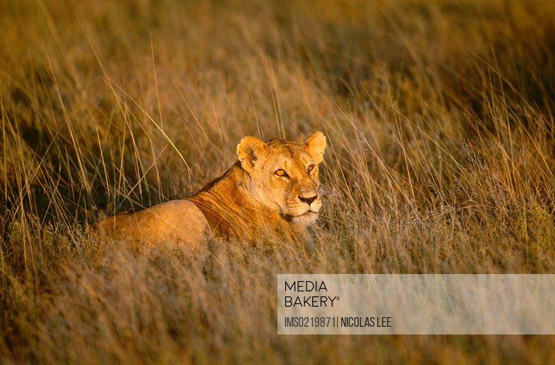 African lion, Serengeti National Park, Tanzania