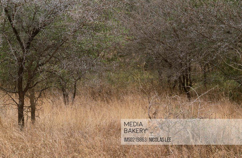 African lion, Tembuvate Preserve, South Africa