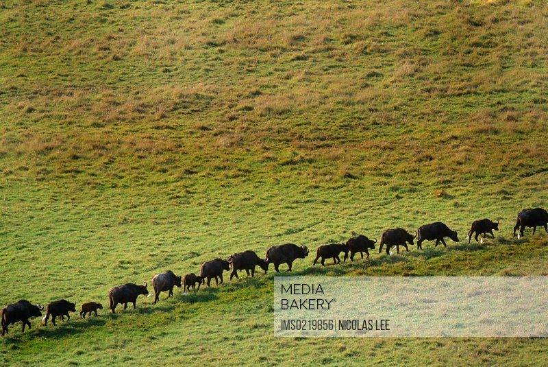 African Buffalo live in savanna and woodlands of central and southern Africa