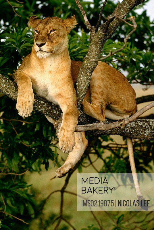 African Lion resting in tree, Kenya