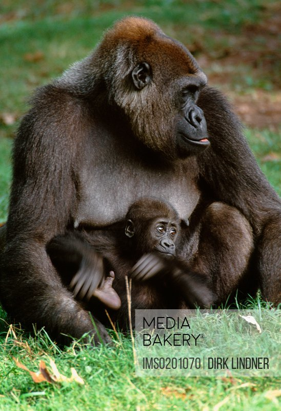Lowland gorilla and baby, West Africa