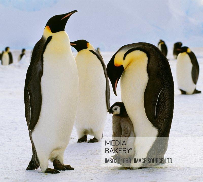 Emperor penguins and chick, Antarctica