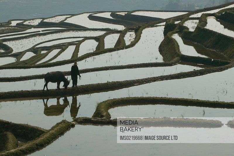 A farmer walks with his water buffalo on the edge of a terraced rice paddy, Yunnan Province, China