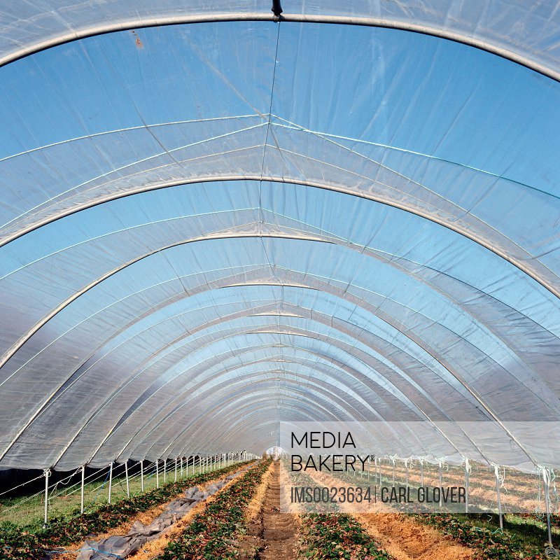 Cultivation in polytunnel